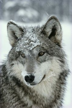 werewolves look scary, they are purebreads maybe, bitten they just look like wolves