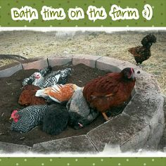 Awesome dust bath- Perfect! If it keeps them from digging up and  bathing in the middle of my yard!!!!