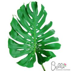 It's easy and inexpensive to turn a simple floral centerpiece into something unique and beautiful with Monstera Leaves! Monstera leaves are very tropical, broad, flat leaf greenery with an attractive sheen and characteristic perforation. We offer monstera leaf greenery at wholesale pricing shipped straight from the farm to your doorstep with FREE SHIPPING! $129