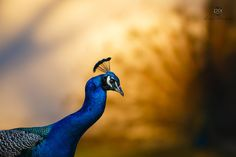 Peacock Dream - Peacock is a beautiful bird and also is shadow