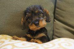 Miniature Wirehaired Dachshund: What a cutie! Dachshund Facts, Dachshund Funny, Dachshund Puppies, Dachshund Love, Cute Puppies, Cute Dogs, Dogs And Puppies, Daschund, Cream Dachshund