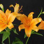 Bonsoir Asian Lilies, Lily, Orange, Plants, Flowers, Orchids, Lilies