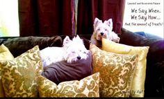 I love how westies like to sleep on the backs of couches.
