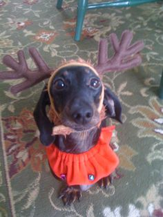Tito the black and tan dachshund. Come check out more of our fan submitted photos on the Furever Dachshund Rescue blog