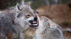 #wildlife #wolf #wolves #animals #endangered #species