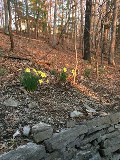#daffodils on a beautiful Spring day at our house