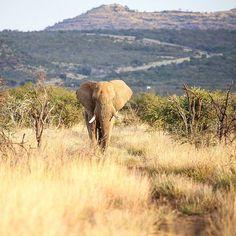 Gentle Giant heading straight towards us. What a beauty #mypic #canon6D #madikwegamereserve #Madikwe #igscwildlife #natureshots #natures_sultans #wildlifelover #wildlifephotography #wildlife_perfection #world_bestanimal #animal_sultans #animals_magic #loves_southafrica #africanamazing #nature_of_our_world #naturephotography #thisiswhyiloveafrica #beautiful #south_africa_though_my_eyes #bigfive #elephant