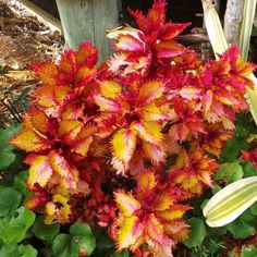 RED HEAD COLEUS~~'HENNA'~~Amazing colour changes ~~1 Well rooted Plant in Home & Garden, Yard, Garden & Outdoor Living, Plants, Seeds & Bulbs, Other Plants, Seeds & Bulbs   eBay