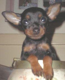 Miniature Pinscher Min Pin Puppy Puppies Dogs