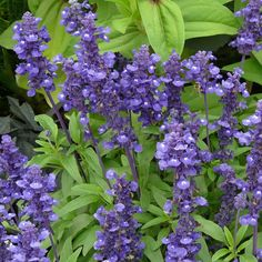 """20 fleurs faciles à faire pousser : La salvia """"Love and Wishes"""""""