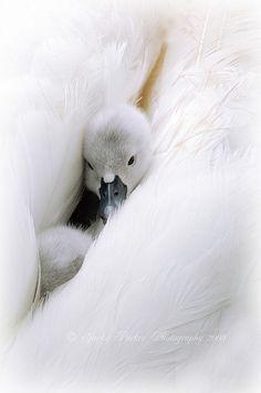 juvenile swan,  cygnets