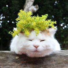 万年草 | のせ猫オフィシャルブログ Powered by Ameba