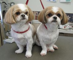 girl shih tzu haircuts | Shih Tzus feeling clean and pretty after a pet grooming