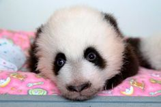 Zoo Atlanta's Panda twins are no longer 'Cub A' and 'Cub B'! On October zoo officials announced the new names of their twin Panda cubs: Mei Lun ('may loon') and Mei Huan ('may hwaan'). The names originate from a. Panda Cam, Panda Love, Animals And Pets, Baby Animals, Baby Pandas, Giant Pandas, Panda Babies, Red Pandas, Bear Cubs