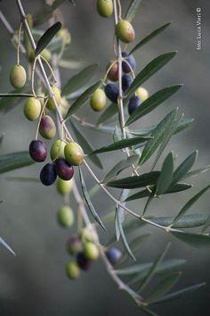 Olives by Luca Vieri of Italy Olive Fruit, Fruit And Veg, Fruits And Vegetables, Photo Fruit, Olive Harvest, Olives, Vida Natural, Olive Gardens, Fruit Art