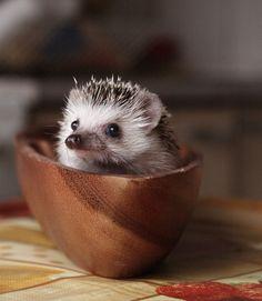 hedgehog in a wooden bowl