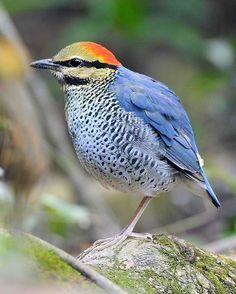 Blue pitta (Hydrornis cyaneus)