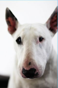 """I have such a soft spot for bull terriers.  Ever since reading Dodie Smith's """"I Capture the Castle"""", with the Mortmain's dog Heloise"""