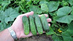 Cucumber, Zucchini, Seeds, Vegetables, Garden, Garten, Lawn And Garden, Vegetable Recipes, Gardens