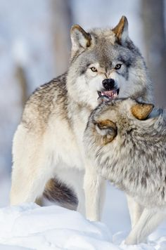 Smile by Maxime Riendeau on Looks like a minor disagreement. Wolf Photos, Wolf Pictures, Animal Pictures, Beautiful Wolves, Animals Beautiful, Cute Animals, Wild Animals, Baby Animals, Wolf Spirit