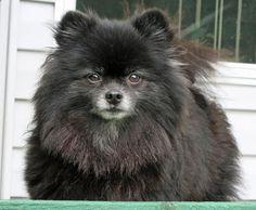 Charlie the Pomeranian aka a fluffy Tito
