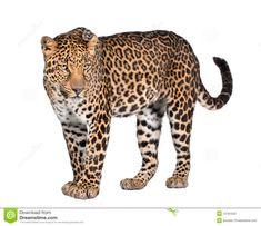 Animal Pictures, Cool Pictures, Panthera Pardus, Chelsea Wedding, Shot Photo, Studio Shoot, Leopards, Fauna, Yorkshire Terrier