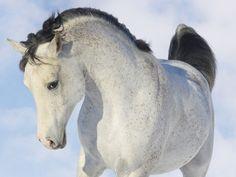 Un cheval tacheté en pleine impulsion
