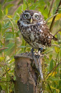Yoda - Little Owl