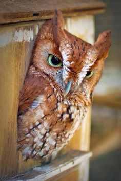 ⊙_⊙corujas - Owl with Green Eyes by Barbara Motter Beautiful Owl, Animals Beautiful, Cute Animals, Owl Photos, Owl Pictures, Owl Bird, Pet Birds, Cool Pictures Of Nature, Photo Animaliere