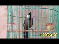 Masteran Burung Poksay Hongkong Bersuara Merdu dan Riuh - YouTube Hong Kong, Birds, Yorkshire, Youtube, Dan, Bird, Yorkies, Youtubers, Yorkshire Pudding Recipes