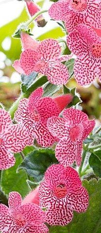 Kohleria Sunsine Orchids