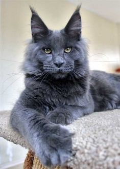 Picking whether to adopt a Male Maine Coon or Female Maine Coon Cat is not easy as both genders offer up different traits that make them good house pets. I Love Cats, Cute Cats, Funny Cats, Maine Coon Kittens, Cats And Kittens, Kittens Cutest, Grand Chat, Norwegian Forest Cat, Grey Cats