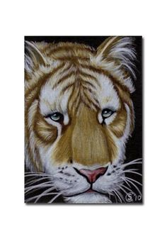 TIGER 37 portrait big cat feline pencil painting Sandrine Curtiss Art Limited Edition Print ACEO by Sandrinesgallery