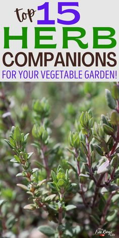 Herbs are sometimes overlooked in the vegetable garden, but learning to companion plant with herbs can help you reduce pests and get a better harvest! Herbs are some of the best companion plants in the vegetable garden in terms of repelling pests, attracting beneficial insects and pollinators, and improving your garden over all. Here are the top 15 herb companion plants! Planting Vegetables, Organic Vegetables, Vegetable Gardening, Container Gardening, Vegetable Garden For Beginners, Gardening For Beginners, Garden Pests, Herb Garden, Small Gardens