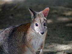 Wildlife,Rednecked, Bush, Forest, Nature, Fauna, Animals
