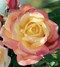 Bellaroma Rose