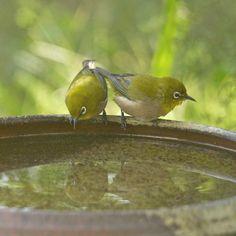 Birdbath (by kaycatt*)