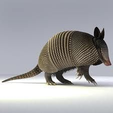 The only armadillo in the United States: 9 banded armadillo ...gorgeous-looking animal!