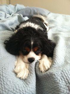Omgggggg. Cavalier King Charles Spaniels - Best dogs ever!