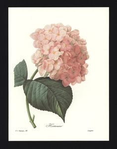 Hydrangea, French Country Decor (French Country Home Decor, Botanical Illustration, Redoute Flower Art) No. 56