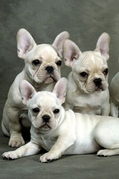 Fawn French Bulldogs, Family Portrait.