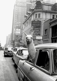 A Llama in Times Square. New York. - Inge Morath – Magnum Photos ~ we often take our llama on a road trip . Black And White Picture Wall, Black And White Posters, Black N White, Black And White Pictures, New York Black And White, Grey Pictures, White Art, Pure White, Gray Aesthetic