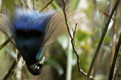 Blue Bird-of-paradise (Paradisaea rudolphi)