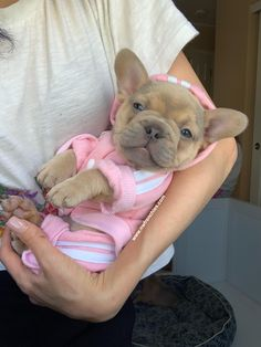 NW Frenchies Lilac Sable French Bulldog Puppy - French Bulldog Puppies for Sale in Washington State Baby Animals Super Cute, Super Cute Puppies, Cute Little Puppies, Cute Little Animals, Cute Dogs And Puppies, Cute Funny Animals, Baby Dogs, Doggies, Baby Animals Pictures