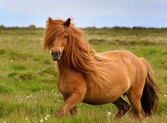 icelandic horses | Icelandic Horse. Photo taken from http://www.flickr.com/photos ...