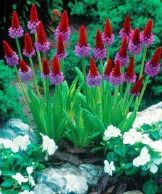 Prvosenka orchideokvětá