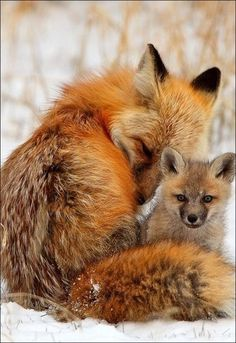 Pin by Niko Sono on Natur - Tiere Cute Creatures, Beautiful Creatures, Animals Beautiful, Nature Animals, Animals And Pets, Funny Animals, Woodland Animals, Fox Pictures, Cute Fox
