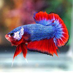 Live Betta Fish Male Fancy Blue Red Monster BIG TAIL Halfmoon Plakat HMPK