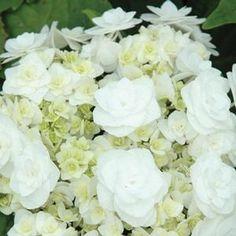 Hydrangea mac. 'Wedding Gown' Wedding Gown Hydrangea from Prides Corner Farms