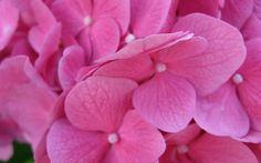 Macro - Hortencia - Pink